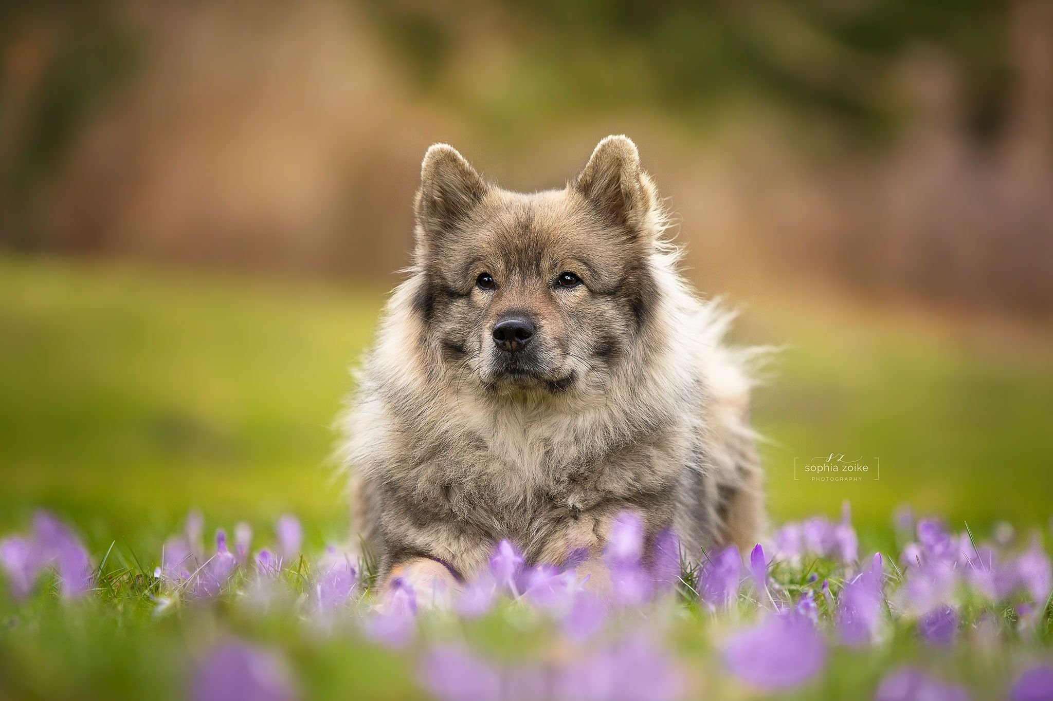 Nike Habe Ich Bei Einem Treffen Mit Einer Influencerin Bellzaubernd Instagram Kennengelernt Nike Ist Ein Eurasier Wolfhund Hunde Hundefotografie Eurasier