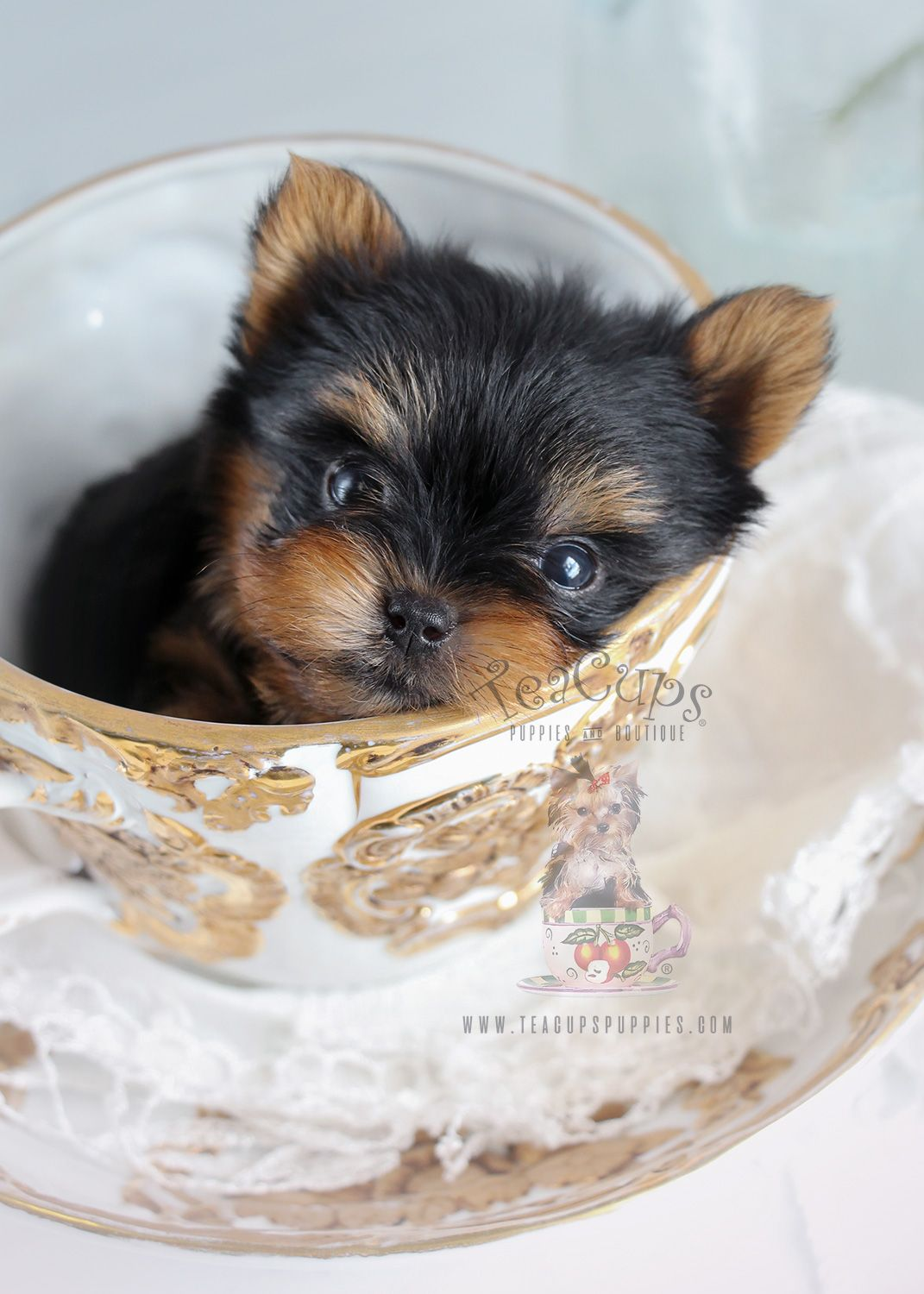 Tiny Teacup Yorkie puppy Yorkie puppy, Teacup yorkie