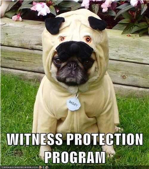 It Should Really Say Witness Pug Tection Program Pugs In