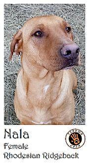 Bonham Tx Rhodesian Ridgeback Meet Nala A Dog For Adoption Nala Had Been Left Abandoned When Her Previous Owners Mov Kitten Adoption Dog Adoption Adoption