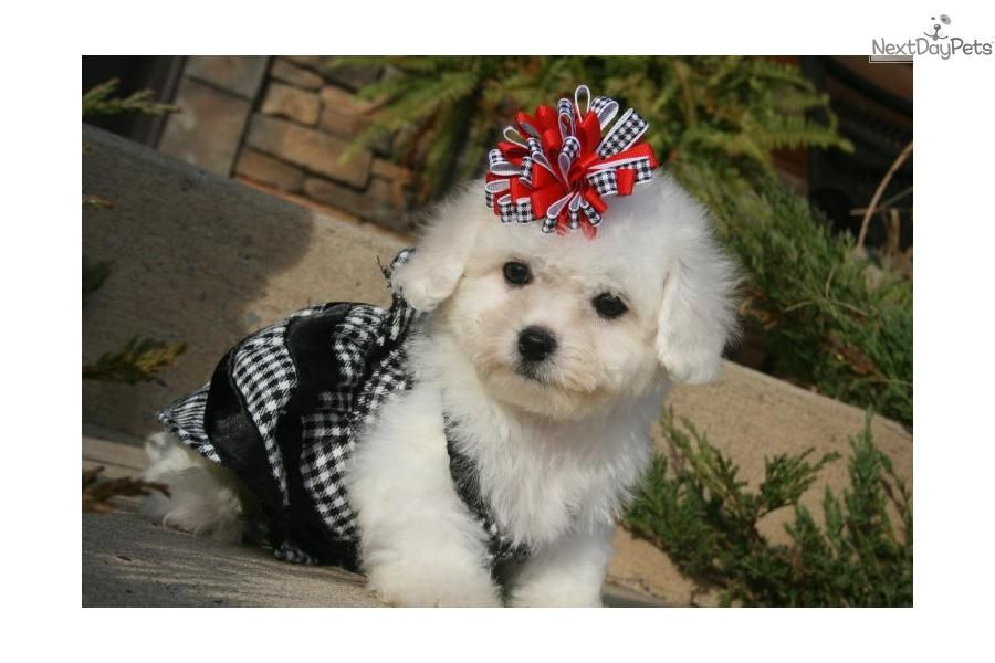 Meet Lizzy A Cute Bichon Frise Puppy