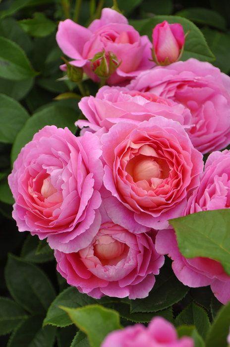 即納【バラ苗】フラゴナール(Del桃)国産苗中苗6号鉢植え品●【デルバール】