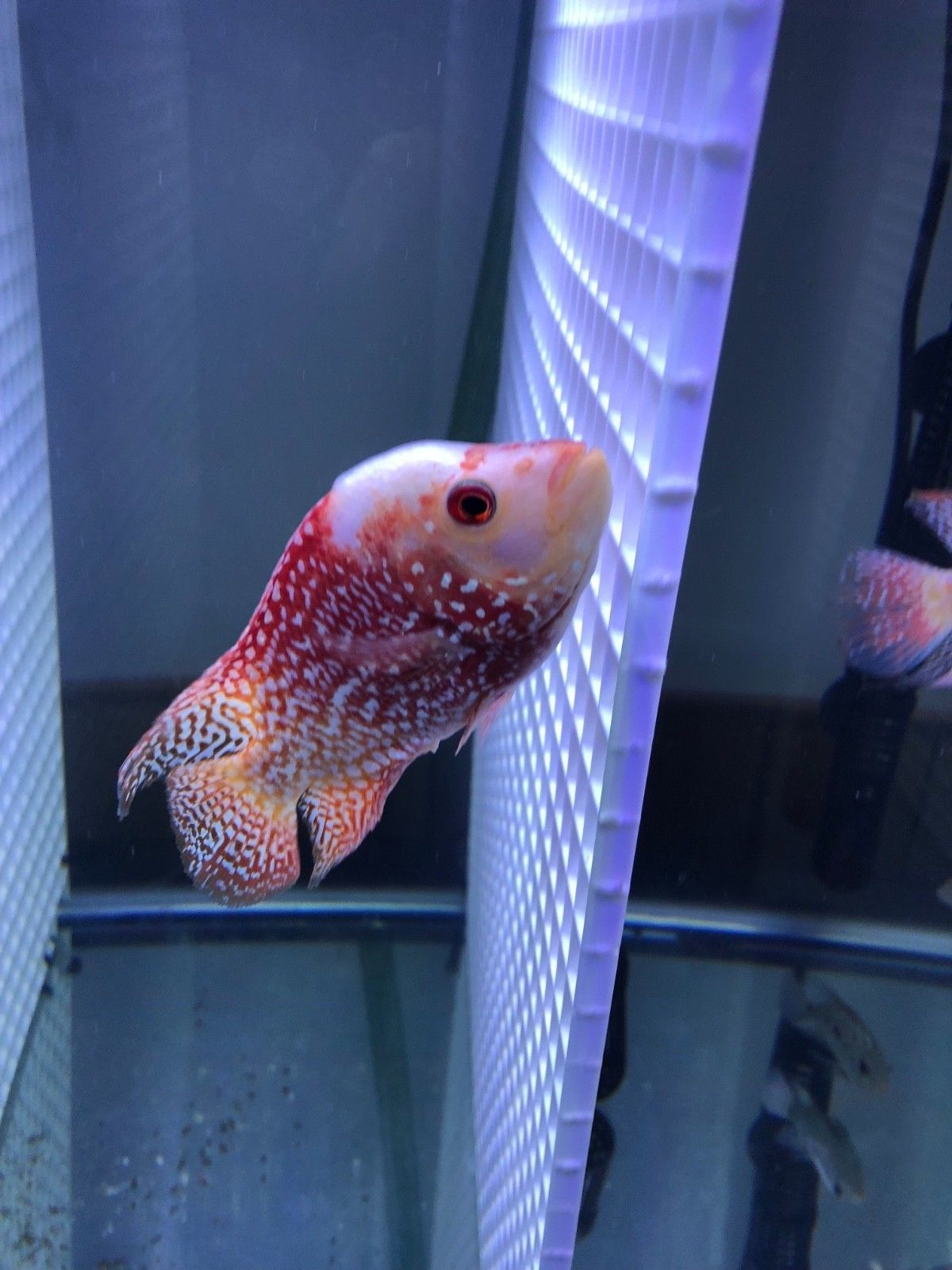 Red Texas Cichlid Fish Flowerhorn 5 Inch 5 Inch Super Red Texas Gold Base Imported From Thailand Ready To Breed động Vật
