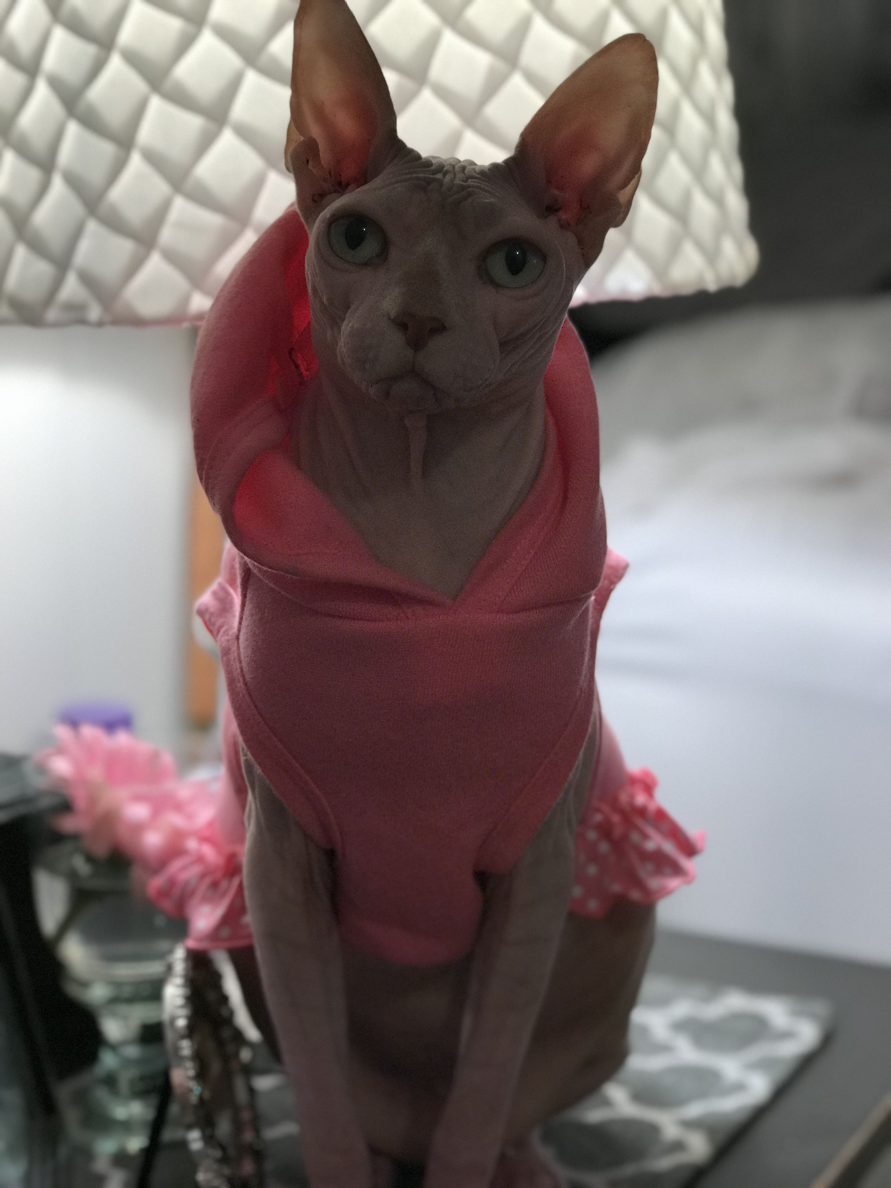 Sphynx cat Cats, kittens, Sphynx cat, Sphynx