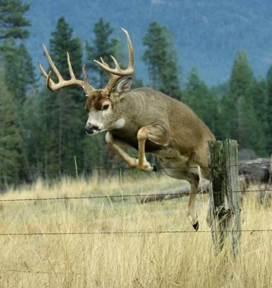 jumping deer #action #picture