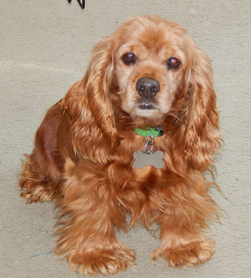 Pin By Emily Stivers On Puppies Cocker Spaniel Spaniel Dog Adoption