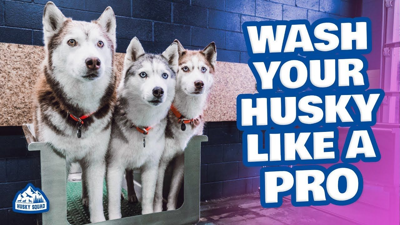How To Bathe Your Siberian Husky Best Tools Husky Siberian