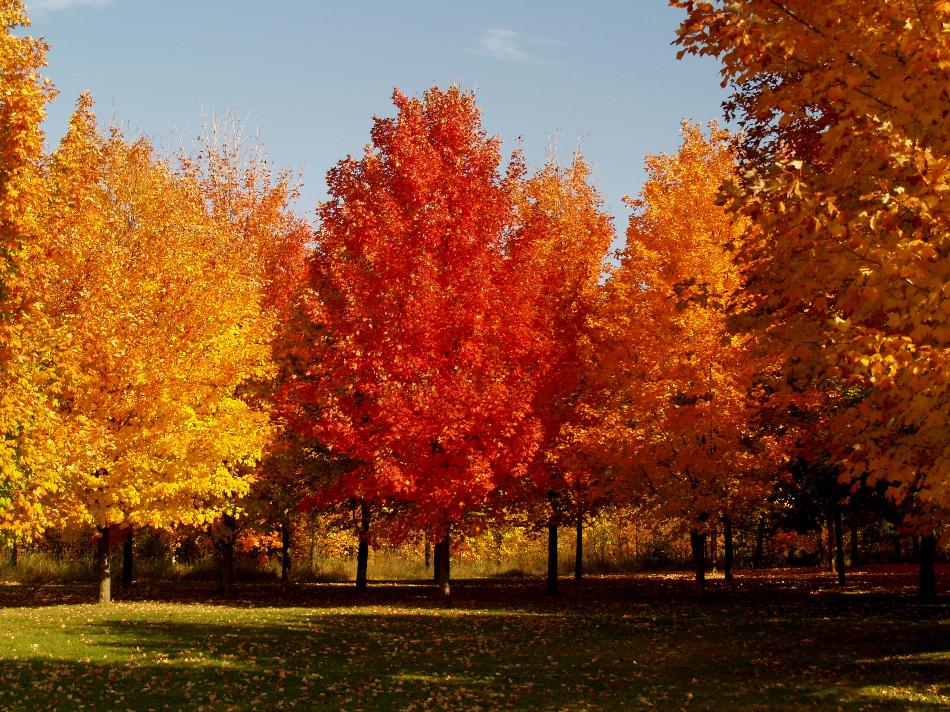 Sugar Maple The King Of The Shade Trees Knecht S Nurseries Landscaping Maple Tree Seeds Shade Trees Autumn Trees