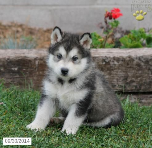 Alaskan Malamute Puppy For Sale In Pennsylvania Alaskan Malamute