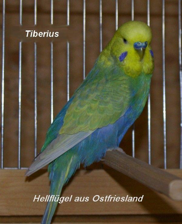Hellfl Gel Aus Ostfriesland Bilder Galerie Parrot Pet Parrot Toys Pet Birds