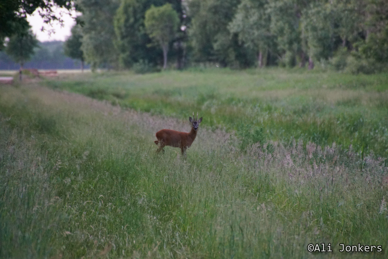 Deer-june 2016