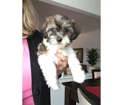 Teddy Bear Puppies Is A Female Male Puppy For Sale In Gurnee Il