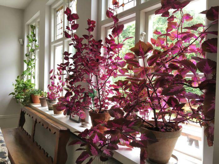 15x Eucalyptus Huis : Img 5806 snapseed purple plant pinterest indoor plants plants