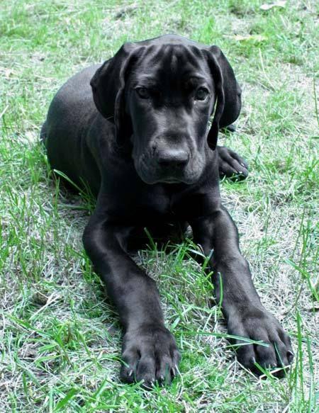 Beautiful Silk Black Dane Puppies Puppies Great Dane Puppy