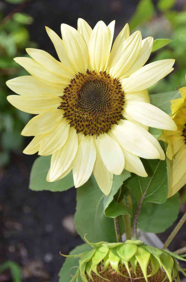 """ChicagoBotanicGarden on Twitter: """"What's in Bloom? Find buttercream #sunflowers in the Regenstein Fruit & Vegetable Garden. https://t.co/56v19hTagX https://t.co/mZS4EztoJy"""""""