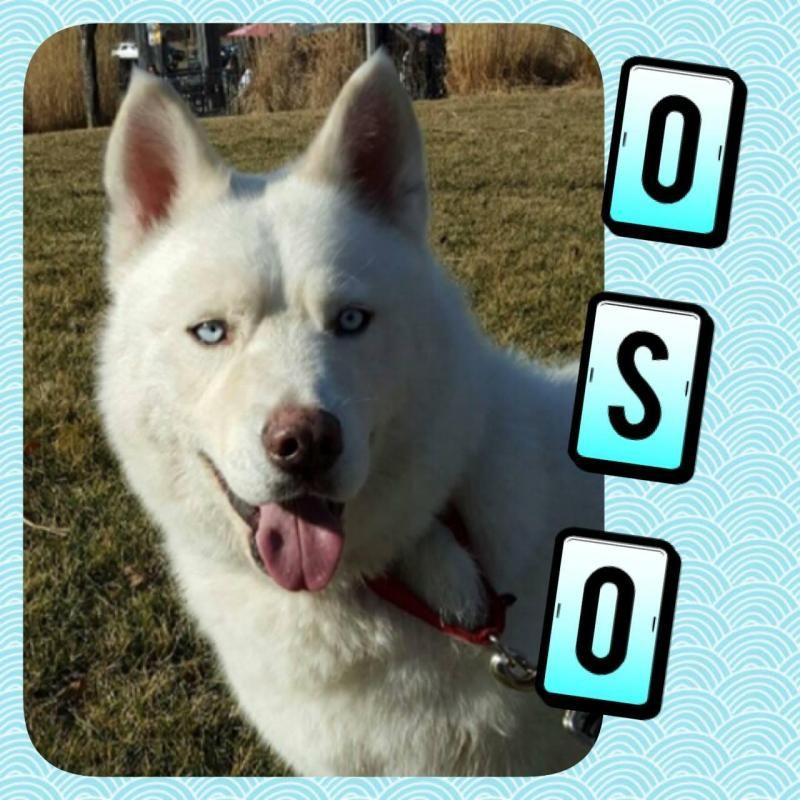 Adopt Oso On Pets Pet Adoption Alaskan Malamute