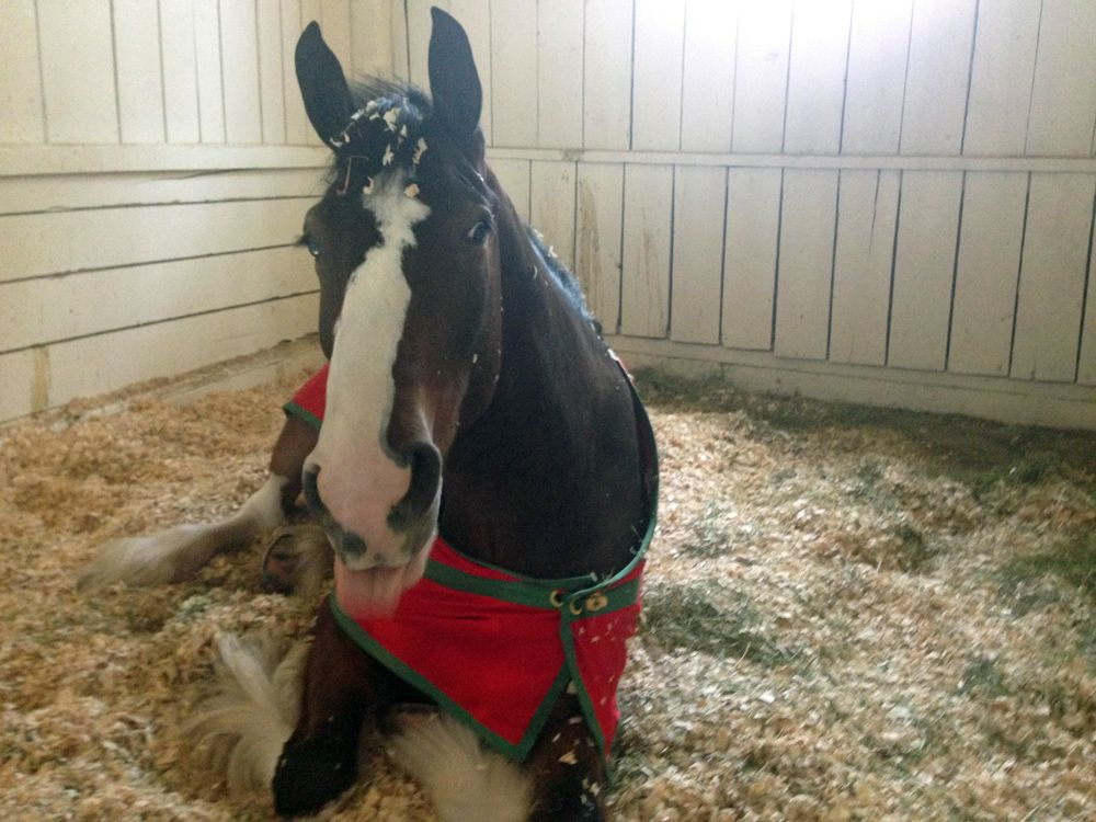 Behind The Stall Door With: The Budweiser Clydesdales | The Chronicle of the Horse