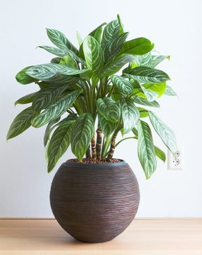 15 Stylish Houseplants That Actually Thrive In Low Light is part of Chinese evergreen plant, Plants, House plants indoor, Low light plants, Plant decor, House plants - Hard to kill, easy on the eyes