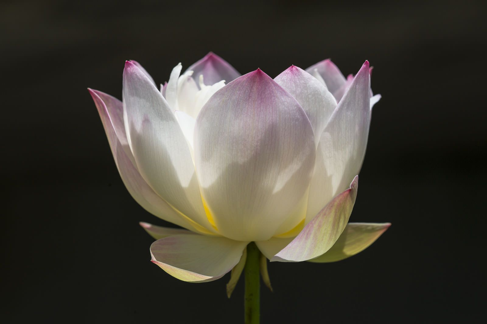 White Lotus Same Flower As In The Other Photo Lotuses Pinterest
