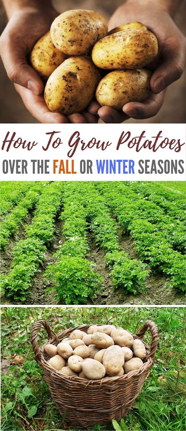 How To Grow Potatoes Over The Fall Or Winter Seasons   SHTFPreparedness