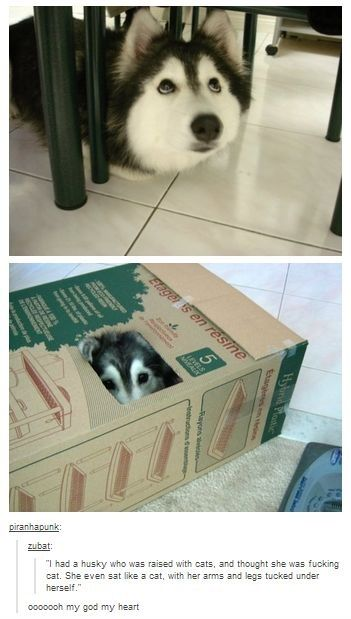 The Husky that acts like a cat