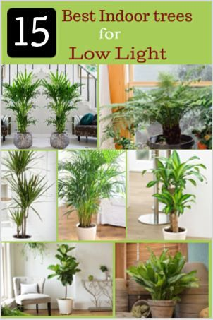 15 Best Low Light Indoor Trees You Can Grow Easily 400 x 300