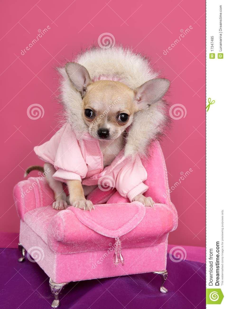 Fashion Chihuahua Dog Barbie Style Pink Armchair - Download From Over 29 Million High Quality Stock Photos, Images, Vectors. Sign up for FREE today. Image: 17347485