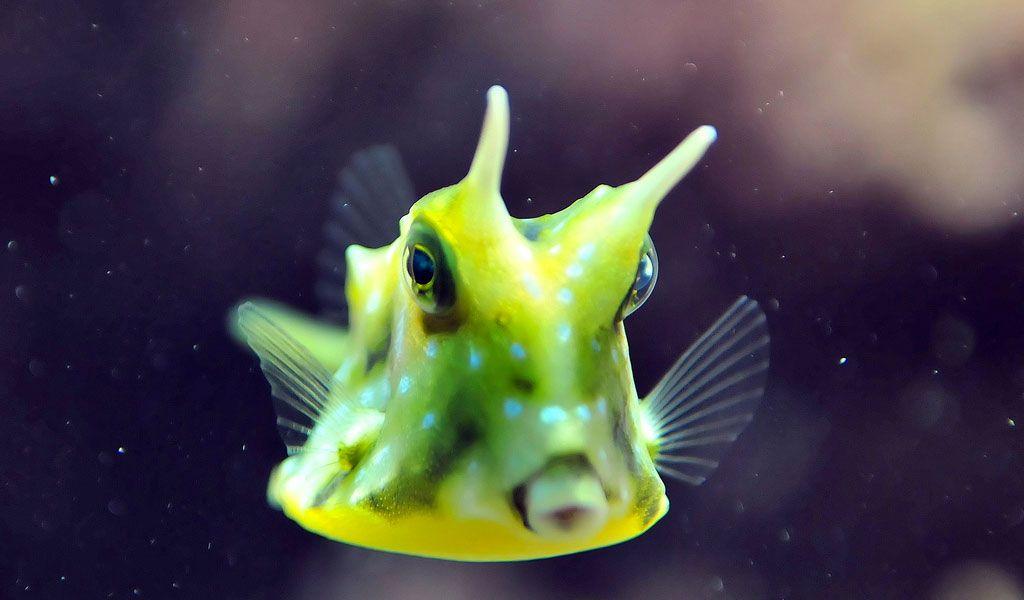 Longhorn Cowfish Facts Pictures Habitat Information Cow Fish Ocean Animals Ocean Creatures