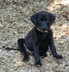 Mishelle is an adoptable Black Labrador Retriever Dog in Killingworth, CT. Mishelle is 11 weeks old and weighs 15 pounds . She is in a wonderful foster home with very young children. She is doing grea...