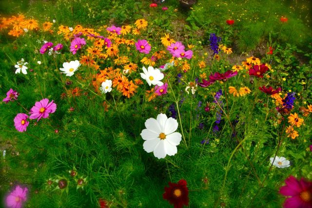 Higgledy Garden, Cornwall. Cut flower seeds and eco cut flowers delivered to your door.