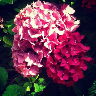hydrangea/hortensia pink in my garden italy