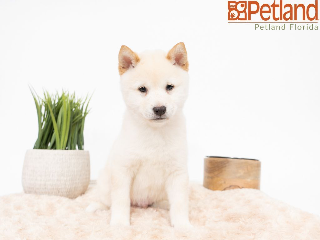 Puppies For Sale (With images) Puppy friends, Shiba inu