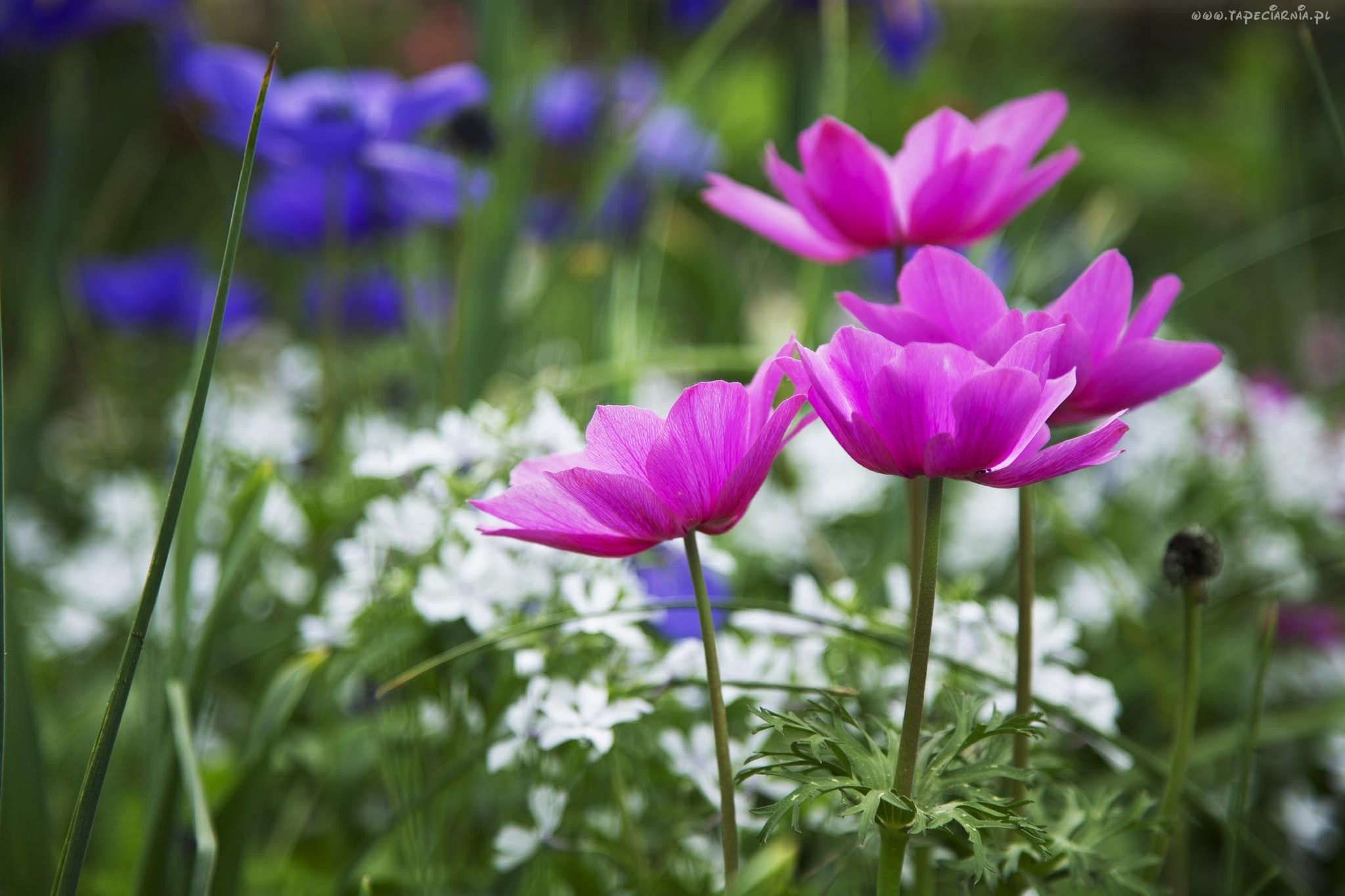 Edycja Tapety Kwiaty Anemony Tapety Tapeta Zdjecia Tapety Na Pulpit Nature Photography Flowers Best Flower Pictures Pink Nature