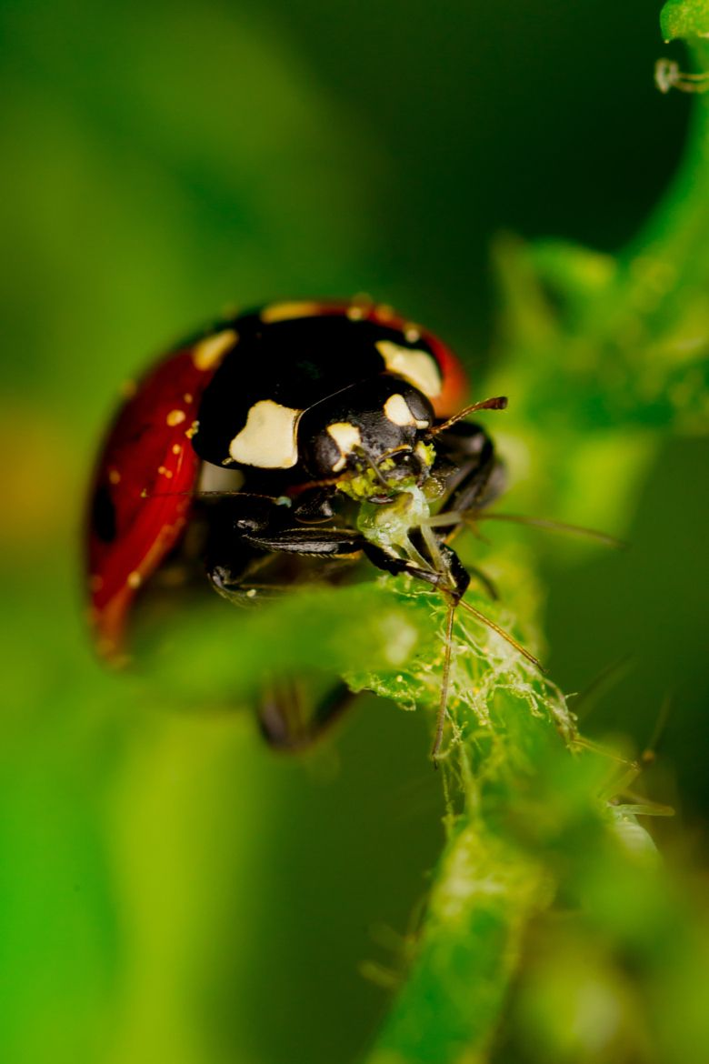 Photograph Ladybug Eating An Aphid By Lucka Jenisova On 500px