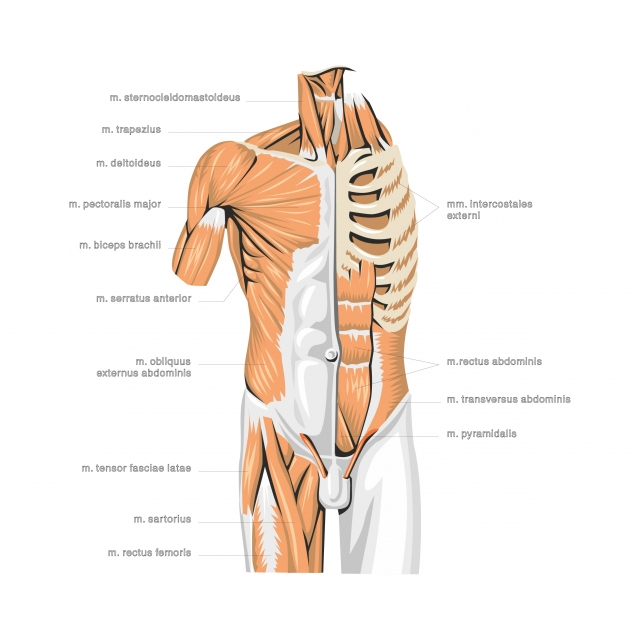Anatomy Of The Human Body Doctor Hospital Anatomy Png And Vector With Transparent Background For Free Download Human Body Body Human