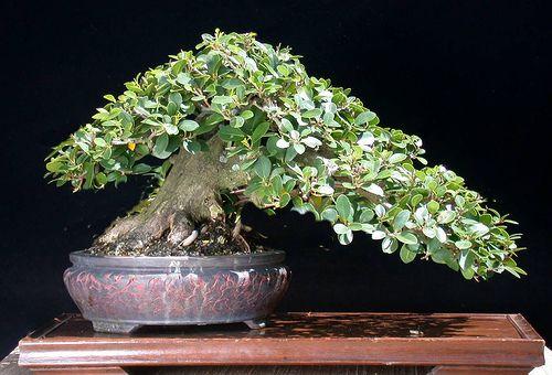 Green Island Ficus By Jim Smith Bonsai Ficus Ficus Bonsai Tree