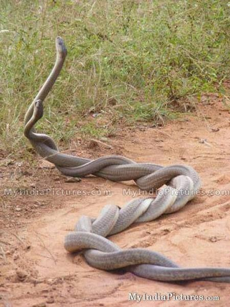Snake Coupling Animals Beautiful