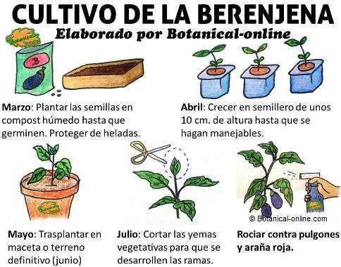 Cultivo de la berenjena como plantar jardin huerto - Cuando plantar tomates ...