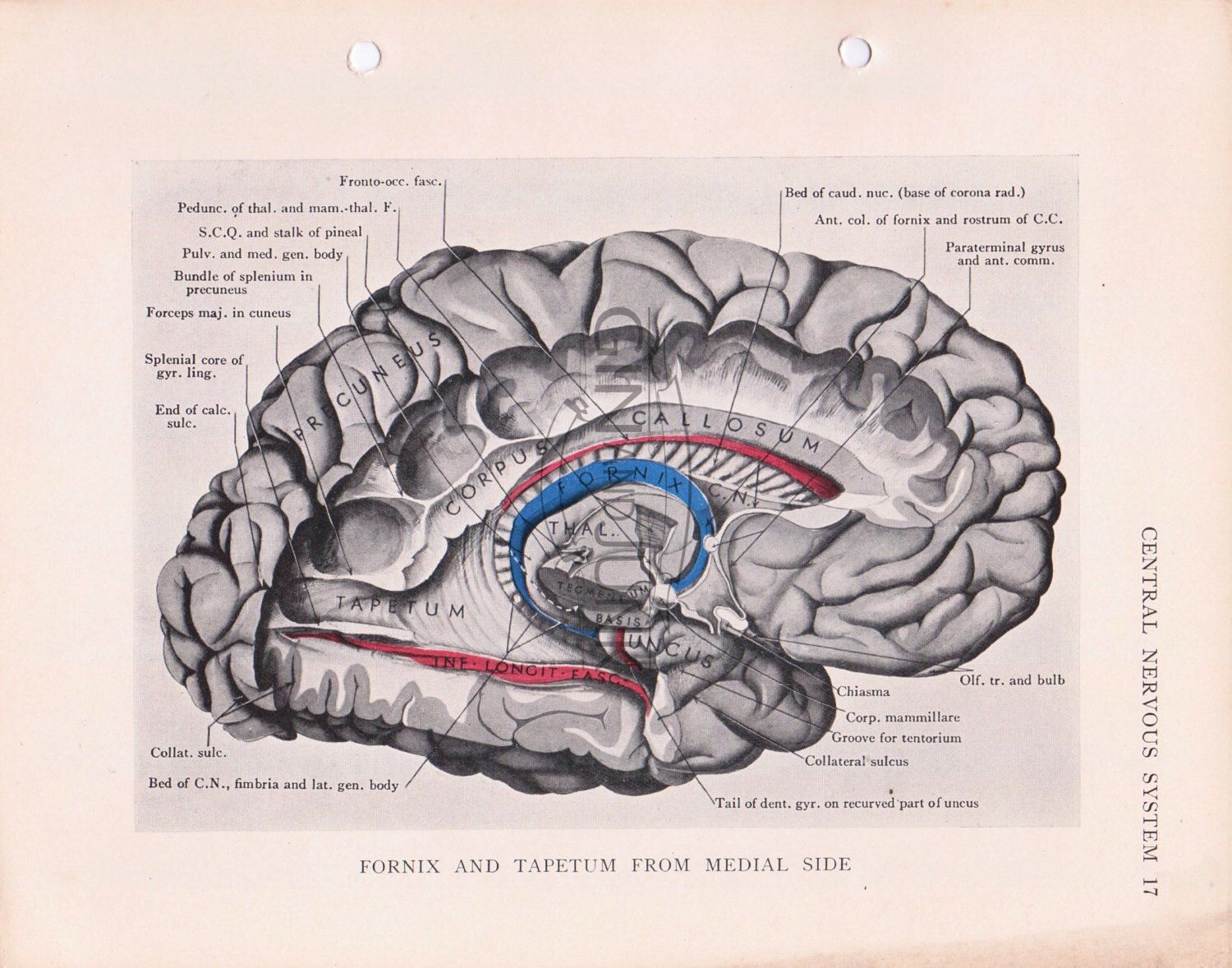 Vintage print of the human brain cross section from 1934, Anatomy ...