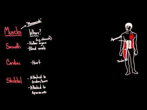 Three Types of Muscle - YouTube | Types of muscles ...