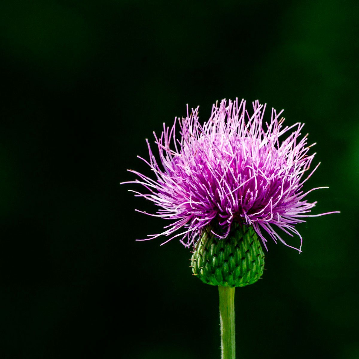 How to get rid of thistle for good easy garden rain