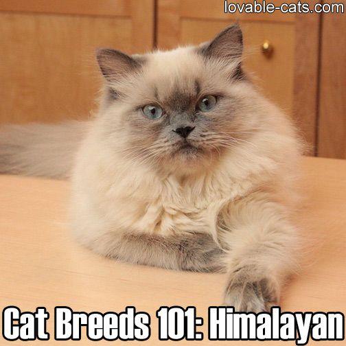 Cat Breeds 101 Himalayan