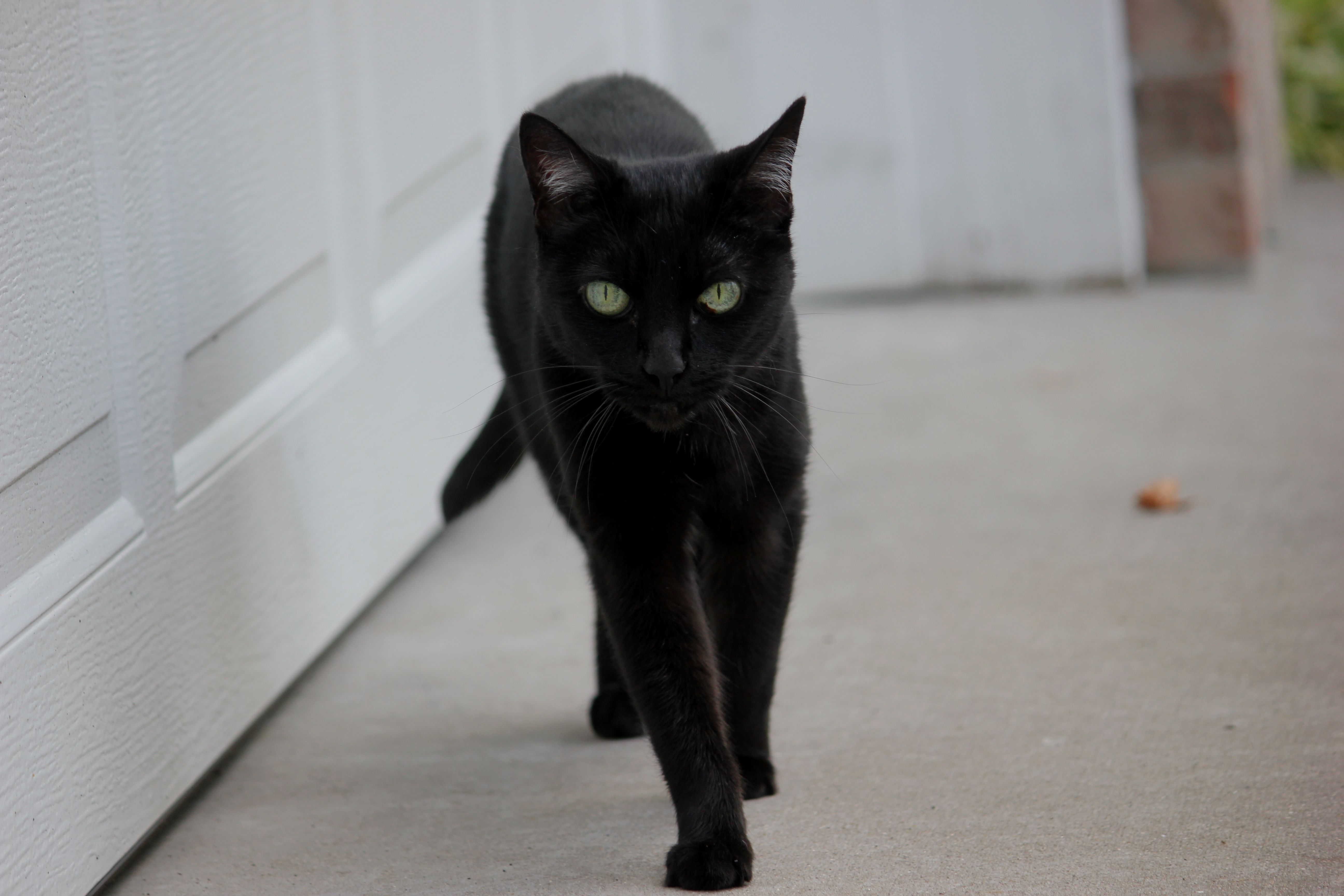 Black cats_9920 traveler trip travel Cats Acceda a