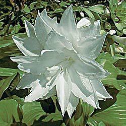 Hosta plantaginea venus with twice double flowerste summer hosta plantaginea venus with twice double flowerste summer mightylinksfo