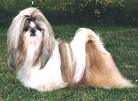 Shih Tzu Long Hair Google Search Shih Tzu Long Hair Shih Tzu Cute Dogs