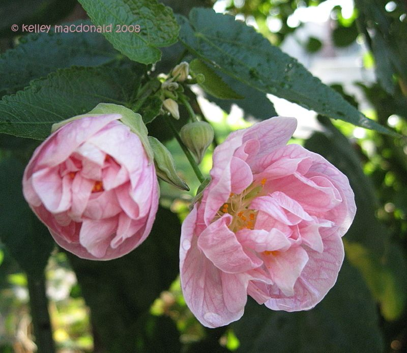 Full size picture of double flowering maple victorian lady i full size picture of double flowering maple victorian lady mightylinksfo