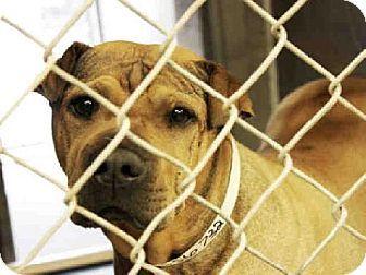 Mesa, AZ - Shar Pei Mix. Meet A3567321, a dog for adoption. http://www.adoptapet.com/pet/12359450-mesa-arizona-shar-pei-mix