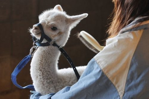 Nasu Alpaca Farm, photo by Risa Baba