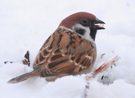Eurasian Tree Sparrow Identification All About Birds