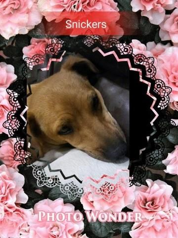 Check out Snickers' profile on AllPaws.com and help her get adopted! Snickers is an adorable Dog that needs a new home. https://www.allpaws.com/adopt-a-dog/dachshund-mix-beagle/5234301?social_ref=pinterest